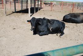 A five-legged steer at Prairie Dog Town in Oakley, Kansas.