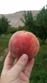 lovelivingincolorado Palisade peaches